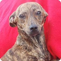 Adopt A Pet :: Elise - Saddle Brook, NJ