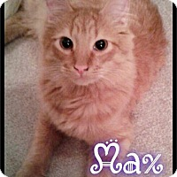 Domestic Mediumhair Cat for adoption in Maumelle, Arkansas - Max - Foster / 2016