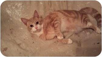 Domestic Shorthair Kitten for adoption in Berkeley Hts, New Jersey - Link