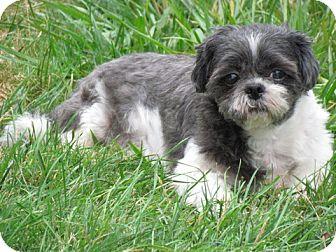 Shih Tzu Mix Dog for adoption in Homer, New York - Sydney