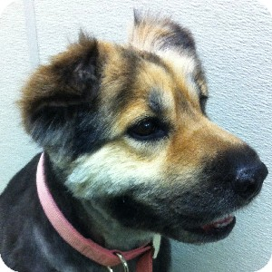 Shar Pei/German Shepherd Dog Mix Dog for adoption in Gilbert, Arizona - Sasha