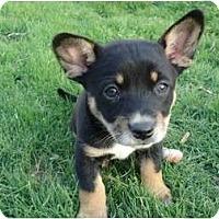 Adopt A Pet :: Sebastian - Arlington, TX