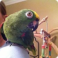 Adopt A Pet :: Paco - St. Louis, MO