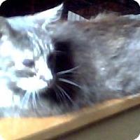 Domestic Mediumhair Cat for adoption in Columbus, Ohio - Sissy