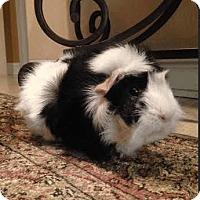 Adopt A Pet :: Gizmo - Fullerton, CA