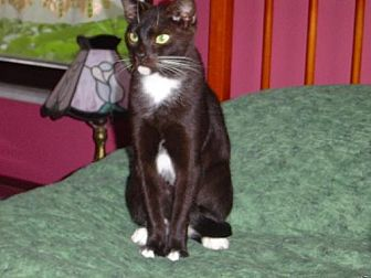 American Shorthair Cat for adoption in Land O Lakes, Florida - Chance