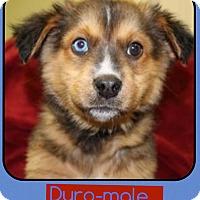 Adopt A Pet :: Duro (Pom-Erin) - Harrisonburg, VA