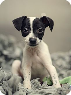 Terrier (Unknown Type, Small)/Miniature Pinscher Mix Puppy for adoption in Marietta, Georgia - Carter