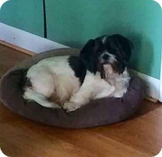 Shih Tzu Dog for adoption in Maumelle, Arkansas - courtesy - Roxy / 2016