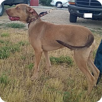 Hound (Unknown Type)/Labrador Retriever Mix Dog for adoption in Buffalo, Wyoming - Brutus