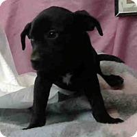 Labrador Retriever Mix Puppy for adoption in San Bernardino, California - URGENT on 9/24 @DEVORE