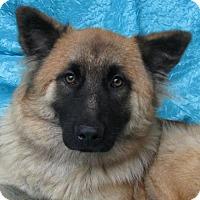 German Shepherd Dog/Belgian Shepherd Mix Dog for adoption in Cuba, New York - Lizzie Jacobs