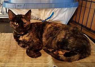Calico Cat for adoption in Geneseo, Illinois - Cheyenne
