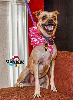 Pug/Chihuahua Mix Dog for adoption in Matthews, North Carolina - Baylor