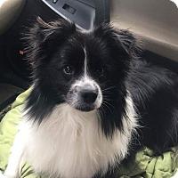 Adopt A Pet :: Jaxson - Joliet, IL
