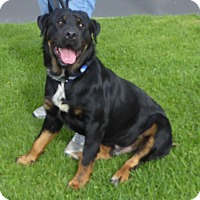 Rottweiler Dog for adoption in West Los Angeles, California - Jones