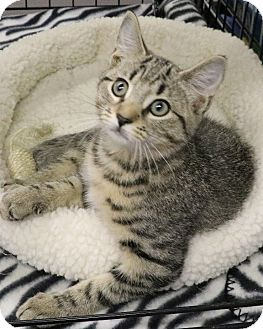 Domestic Shorthair Kitten for adoption in Rochester, New York - Joseph