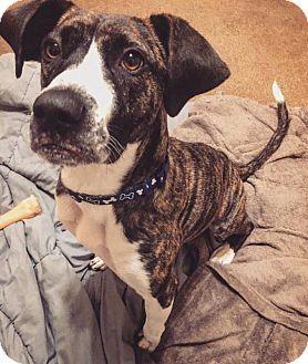 Boxer/Great Dane Mix Dog for adoption in Pataskala, Ohio - Chalupa