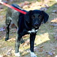 Adopt A Pet :: PUPPY HERBIE - Salem, NH