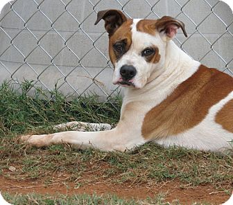 Boxer Mix Dog for adoption in Marble Falls, Texas - Ginger
