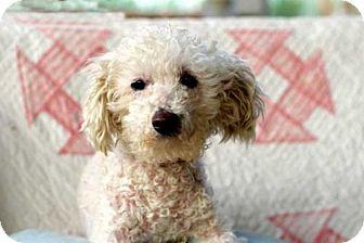 Poodle (Miniature) Mix Dog for adoption in Washington, D.C. - KALANI