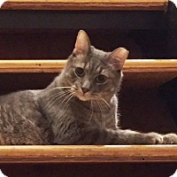 Adopt A Pet :: STONE-True Cuddler - New York, NY