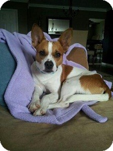Jack Russell Terrier/Basenji Mix Dog for adoption in North Wales, Pennsylvania - Alex