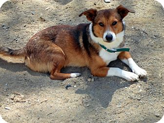 Corgi/Sheltie, Shetland Sheepdog Mix Dog for adoption in Wappingers, New York - widget