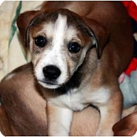 Adopt A Pet :: Girl puppies - Hagerstown, MD