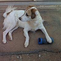 Spaniel (Unknown Type)/Border Collie Mix Dog for adoption in Wichita Falls, Texas - Wally