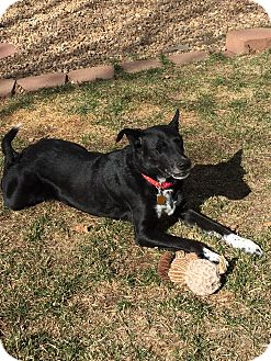 Border Collie Mix Dog for adoption in Denver, Colorado - Lily