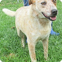 Blue Heeler Mix Dog for adoption in Reeds Spring, Missouri - Dodger