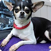 Adopt A Pet :: ChiChi - Locust Fork, AL