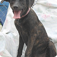 Labrador Retriever Mix Puppy for adoption in Hagerstown, Maryland - Jill ADOPTION FEE PAID