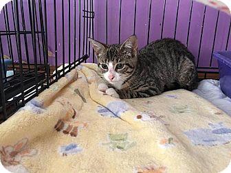 Domestic Shorthair Kitten for adoption in Middletown, New York - Gabby