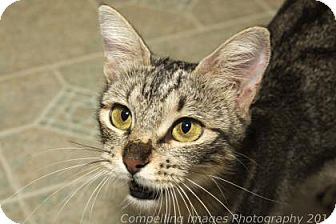 Domestic Shorthair Cat for adoption in Fort Collins, Colorado - Muffin
