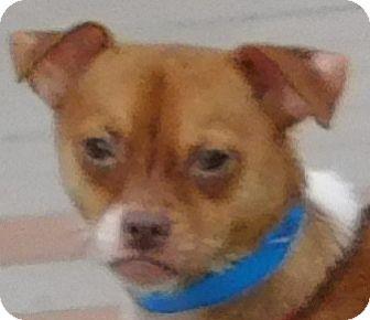Chihuahua Mix Dog for adoption in MINNEAPOLIS, Kansas - Benny