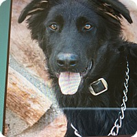 German Shepherd Dog Mix Puppy for adoption in Los Angeles, California - CUBBY VON COSSATE