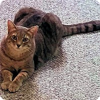 Domestic Shorthair Cat for adoption in Fairfax, Virginia - Maxwell