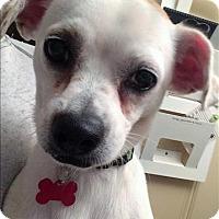 Adopt A Pet :: Bolt - Encino, CA