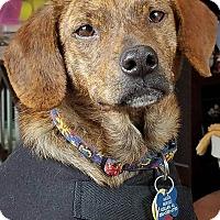 Adopt A Pet :: Cole - Minneapolis, MN
