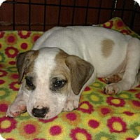 Hound (Unknown Type)/Pit Bull Terrier Mix Puppy for adoption in Greenville, North Carolina - Remi