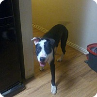 Adopt A Pet :: Dominick - Phoenix, AZ