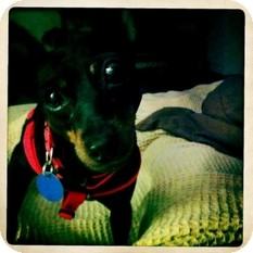 Miniature Pinscher Dog for adoption in Philadelphia, Pennsylvania - Marley