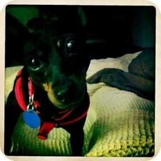 Miniature Pinscher Dog for adoption in Seymour, Connecticut - Marley