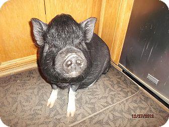 Pig (Potbellied) for adoption in Las Vegas, Nevada - Bonnie