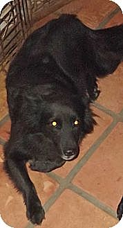 Chow Chow/Collie Mix Dog for adoption in Key Biscayne, Florida - Liz Taylor