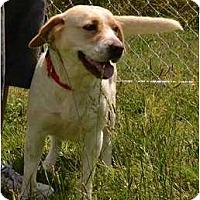 Adopt A Pet :: Shammy - Mebane, NC