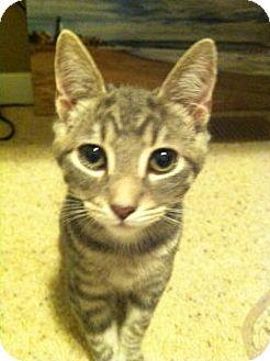 Domestic Shorthair Cat for adoption in San Jose, California - Hercules