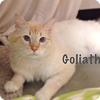 Adopt A Pet :: Goliath - Foothill Ranch, CA
